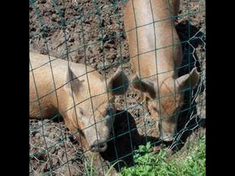 Raising Backyard Pigs for Meat: What Not to Do; Learn from my Mistakes